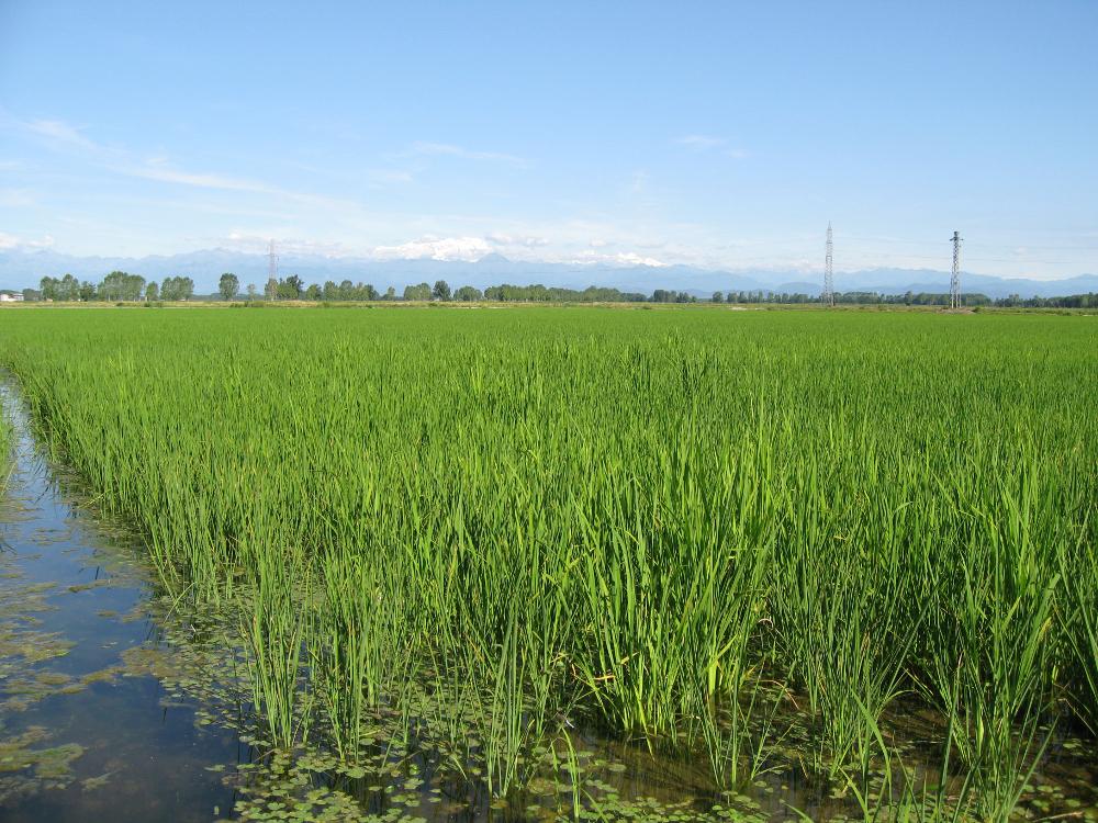 Risaie Azienda Agricola Guglielmini